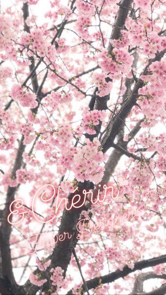 名古屋で一番早く咲く桜?